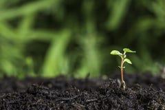 Chiuda su di nuova piantina che germoglia dalla terra con il fondo del bokeh di verde vivo immagine stock