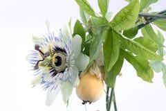 Chiuda in su di passiflora Fotografia Stock