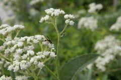 Chiuda su di piccola pianta germogliante con i fiori bianchi Fotografia Stock