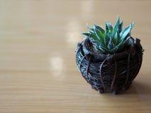 Chiuda su di piccola pianta nel canestro di legno, fuoco molle del cactus verde Fotografie Stock Libere da Diritti