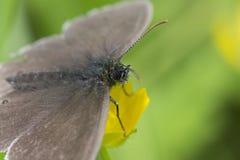 Chiuda su di piccola testa marrone della farfalla Fotografia Stock Libera da Diritti