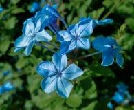 Chiuda su di piccoli fiori blu Fotografie Stock Libere da Diritti