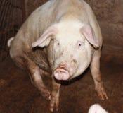 Chiuda in su di piccolo maiale Immagini Stock