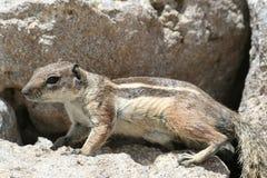 Chiuda in su di piccolo scoiattolo Immagini Stock