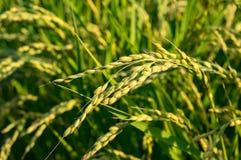 Chiuda su di risaia Immagine Stock
