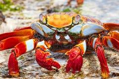 Chiuda su di Sally Lightfoot Crab in Galapagos fotografia stock libera da diritti