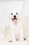 Chiuda su di seduta sul cucciolo di Labrador del sofà fotografie stock libere da diritti