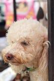 Chiuda su di sguardo del cane Immagini Stock