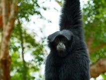 Chiuda su di Siamnang Gibbon che si appende sull'albero Fotografia Stock