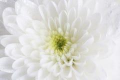 Chiuda su di singola dalia bianca con le goccioline di acqua Fotografia Stock