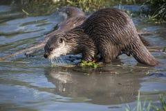 Chiuda su di singola lutra europea della lutra della lontra fotografia stock