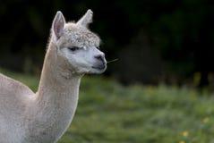 Chiuda su di un'alpaga, masticando una singola lama di erba fotografia stock libera da diritti