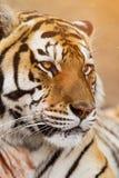 Chiuda su di un altaica del Tigri della panthera della tigre siberiana Fotografie Stock Libere da Diritti