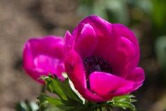 Chiuda su di un anemone in piena fioritura fotografia stock libera da diritti