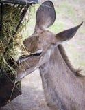 Chiuda su di un'antilope di Brown Fotografia Stock Libera da Diritti