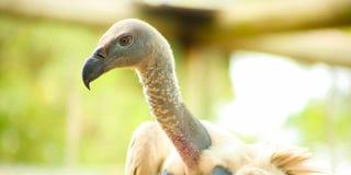 Chiuda su di un avvoltoio africano immagini stock libere da diritti