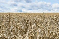 Chiuda su di un campo dei raccolti e del cielo blu durante l'ora legale come fondo per coltivare Immagini Stock
