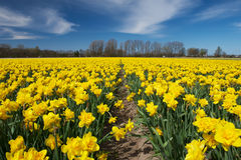 Chiuda su di un campo di fioritura del narciso nei Paesi Bassi Fotografie Stock