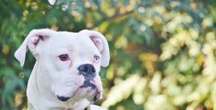 Chiuda su di un cane bianco del pugile Fotografia Stock