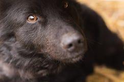 Chiuda su di un cane sveglio nero fotografia stock libera da diritti
