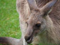 Chiuda su di un canguro australiano selvaggio fotografia stock libera da diritti
