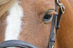 Chiuda su di un cavallino della castagna appena intorno all'area dell'occhio immagini stock libere da diritti