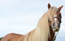 Chiuda su di un cavallino della castagna appena intorno all'area dell'occhio fotografie stock