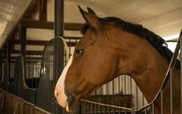 Chiuda su di un cavallo dello stallone colorato bella castagna nello stabl immagine stock libera da diritti