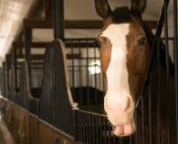 Chiuda su di un cavallo dello stallone colorato bella castagna nello stabl fotografie stock libere da diritti