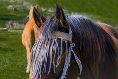 Chiuda su di un cavallo dello stallone con la maschera della mosca in un campo verde immagini stock