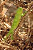 Chiuda in su di un chameleon verde Fotografia Stock