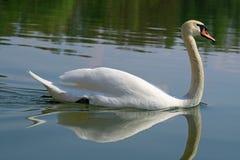 Chiuda su di un cigno di galleggiamento bianco con le perle dell'acqua nel fronte Fotografie Stock Libere da Diritti