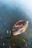 Chiuda su di un cigno nero giovanile, ancora in piume marroni, nuotanti sul lago un bello giorno soleggiato Immagini Stock Libere da Diritti