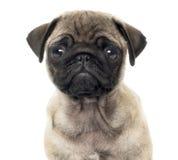Chiuda su di un cucciolo del carlino, 2 mesi, isolati Immagine Stock