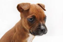 Chiuda su di un cucciolo del pugile di Brown Fotografia Stock