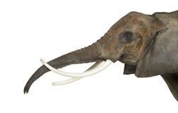 Chiuda su di un elefante africano che solleva il suo tronco, isolato Immagini Stock