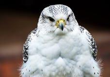 Falco ibrido Immagine Stock