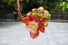 Chiuda su di un fiore dell'albero della palla di cannone, guianensis di Couroupita fotografie stock libere da diritti