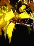Chiuda su di un fogliame giallo nel automn Fotografie Stock