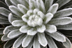 Chiuda su di un Frilejon, espeletia nel picco del Bolivar del ³ n di Simà Fotografia Stock