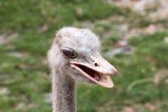 Chiuda su di un fronte dell'uccello dello struzzo con il grande occhio Fotografia Stock