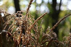 Chiuda su di un gambo di grano che cresce su un'azienda agricola Fotografia Stock
