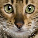 Chiuda in su di un gattino del Bengala (7 mesi) Fotografia Stock
