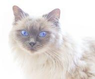 Chiuda su di un gatto blu di Ragdoll del colorpoint immagini stock libere da diritti