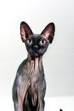 Chiuda su di un gatto glabro dello sphynx curioso Fotografie Stock