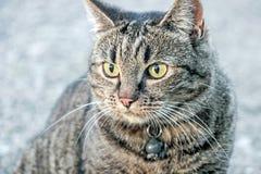 Chiuda su di un gatto marrone Immagini Stock
