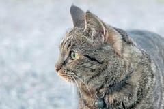 Chiuda su di un gatto marrone Fotografie Stock