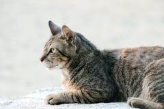 Chiuda su di un gatto marrone Fotografia Stock