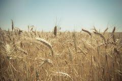 Chiuda su di un giacimento di grano dorato Fotografie Stock Libere da Diritti