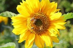 Chiuda su di un girasole con le api mellifiche fotografia stock libera da diritti